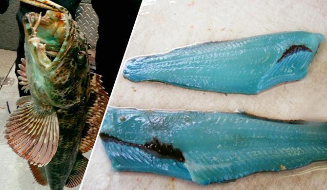 Blue lingcod fish