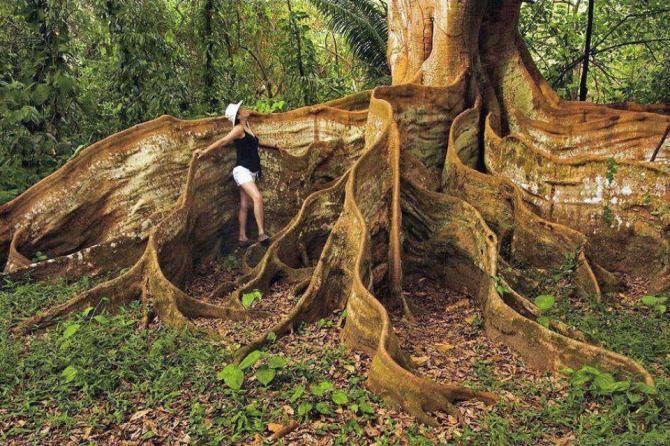 Контрфорсне дерево