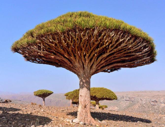 Драконові дерева