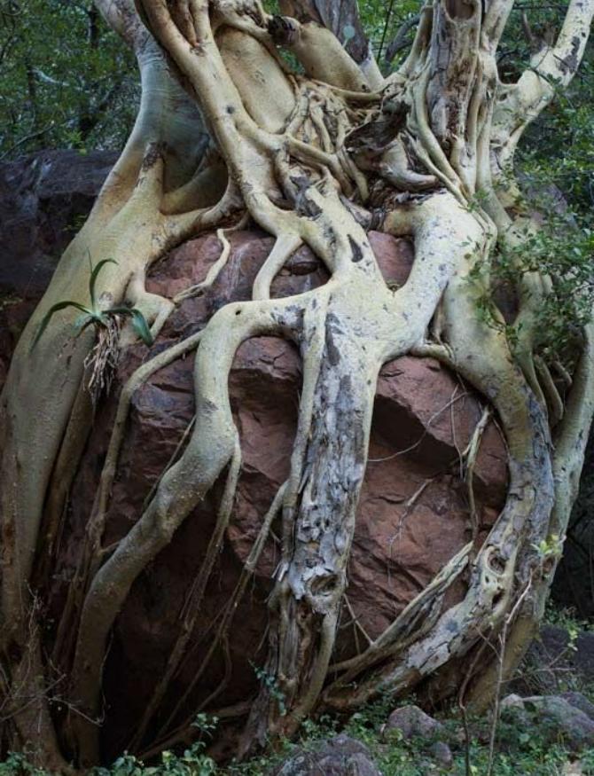 фігове дерево