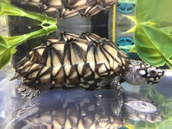 черепаха гамільтона