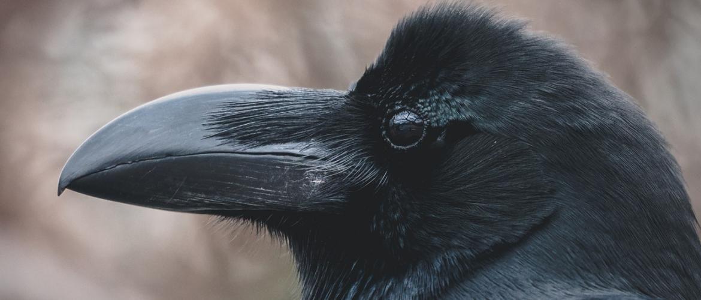 Вороны имеют высокий IQ:  доказано учеными