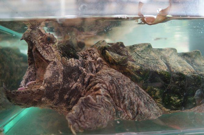 грифова черепаха
