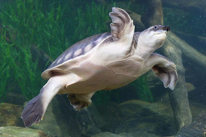 свинорила черепаха