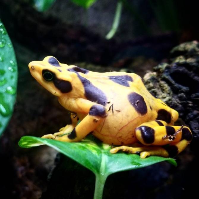 беременная лягушка