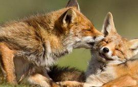 L'amour в царстве зверей: ну очень влюбленные животные
