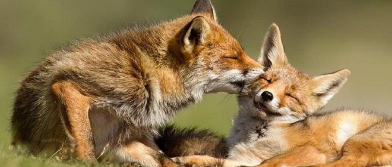 L'amour в царстві звірів: ну дуже закохані тварини