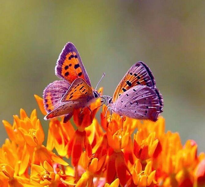 метелики