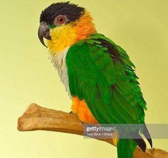 Чорноголовий білочеревий папуга