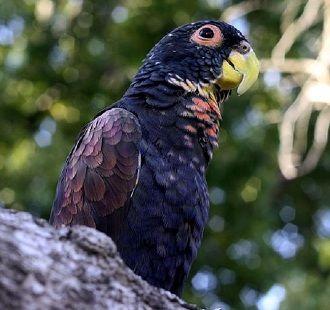 Бронзовокрилий папуга