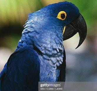 гіацинт ара