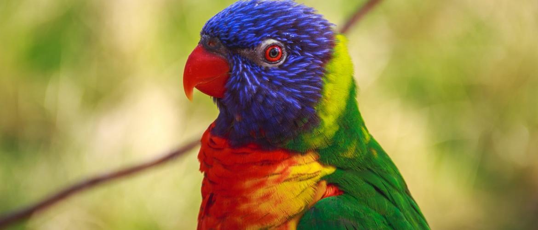 Найкрасивіші папуги в світі: від ара до лорі