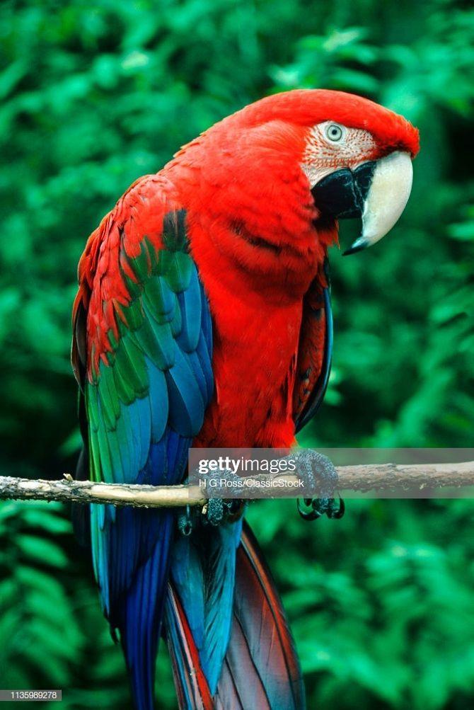 папуга ара