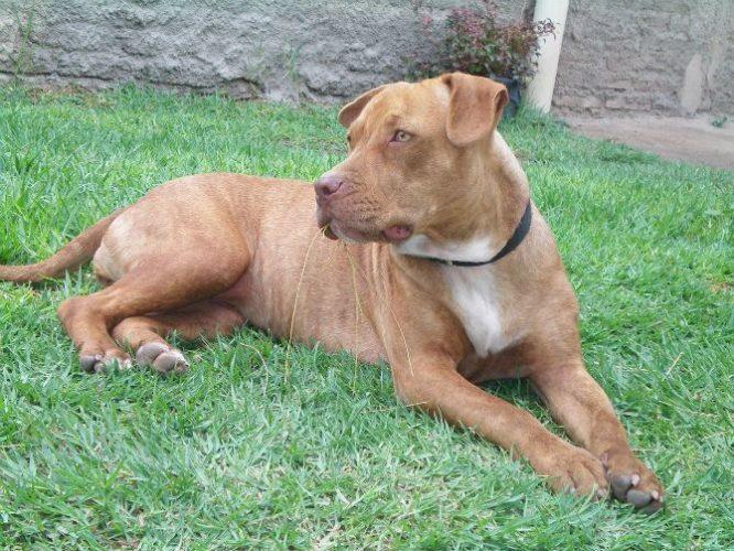 Platz - American Pit Bull Terrier