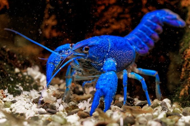 Флоридський синій рак