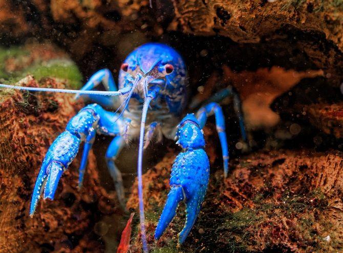 Флоридский синий рак