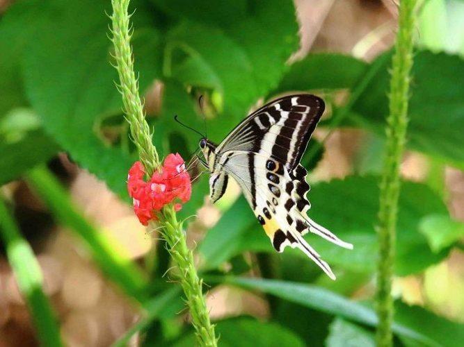 Метелик-вітрильник, Фіджі