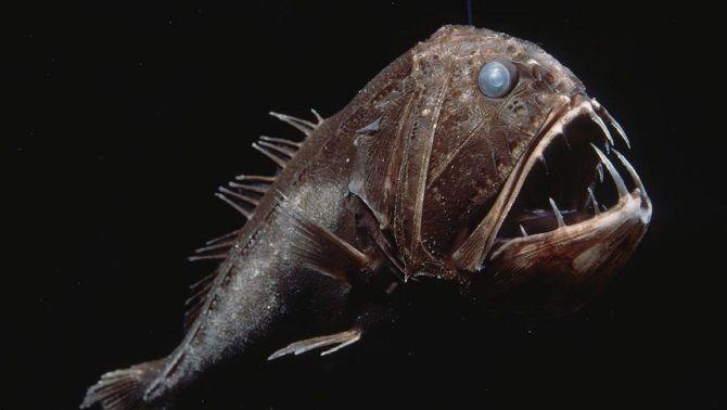 Довгорогий саблезуб, Anoplogaster Cornuta
