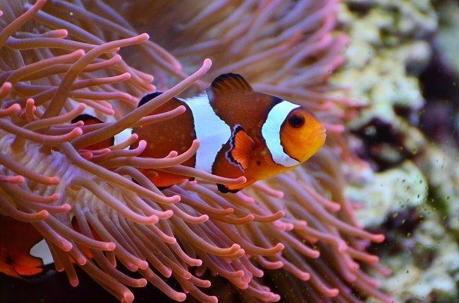Риби-клоуни