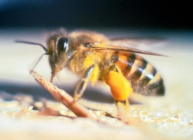 Африканізована бджола