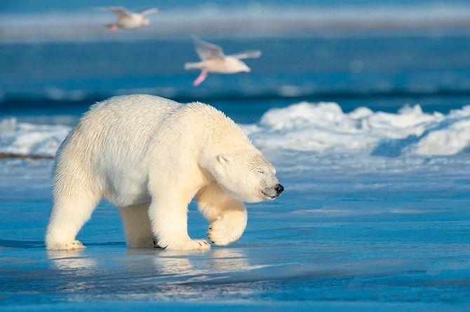 Білий ведмідь