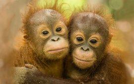 2 обезьянки