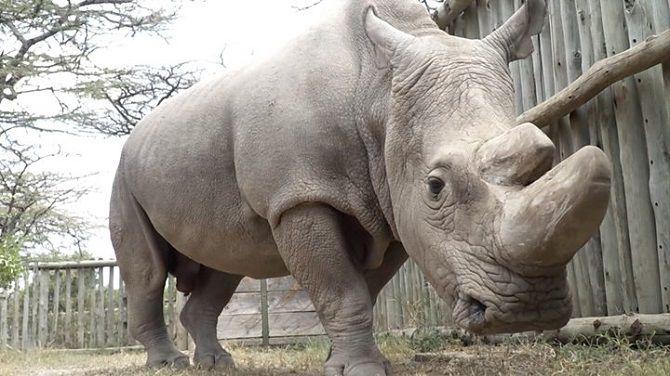 самець північного білого носорога
