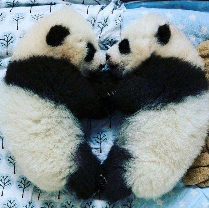 панди