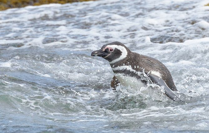 Магеллановий пінгвін