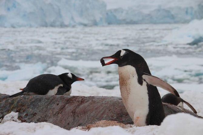 Самці пінгвінів
