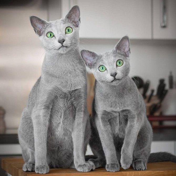 кошки русская голубая