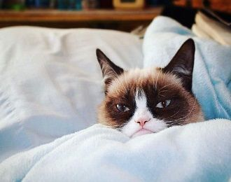кот Grumpy Cat