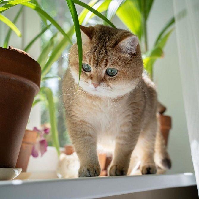 кошка Хосико