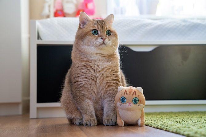 Хосико кот