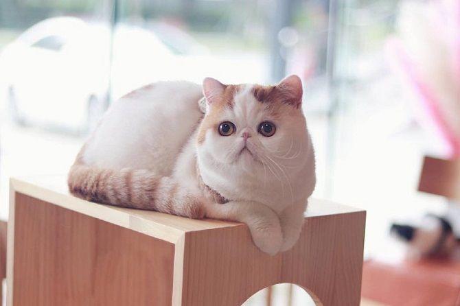 кошка Snoopy