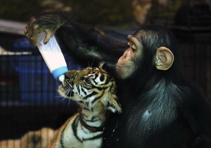 мавпа тигреня