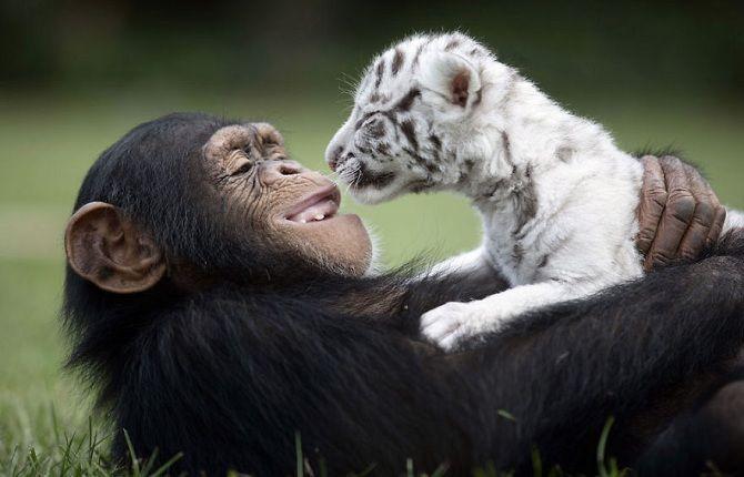 мавпа з тигреням альбіносом