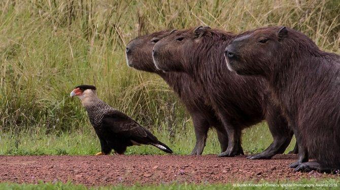 40 найсмішніших фото дикої природи Comedy Wildlife Photography Awards: фіналісти конкурсу 23