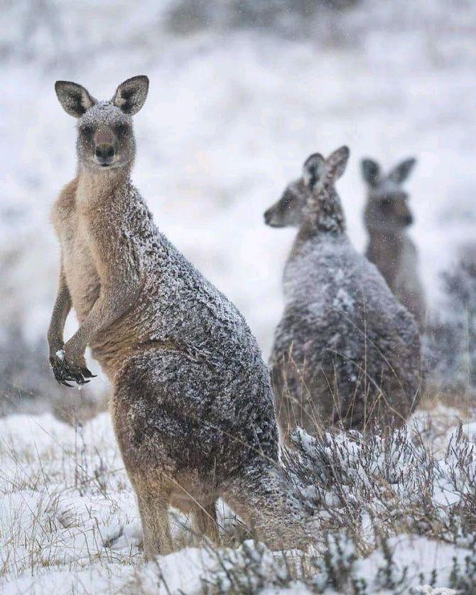 кенгуру под снегом