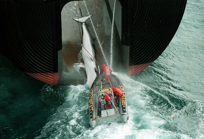 грінпіс захист китів