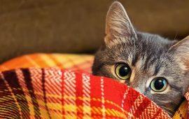 кіт в пледику