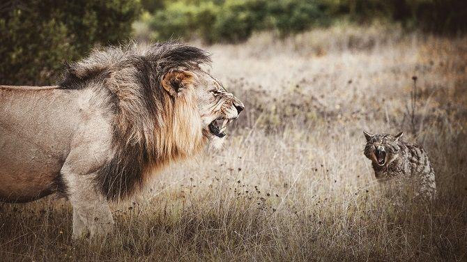 кот и лев