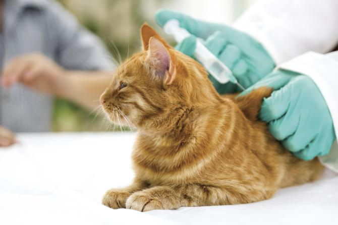 Чи потрібна вакцинація, якщо кішка не виходить з квартири?