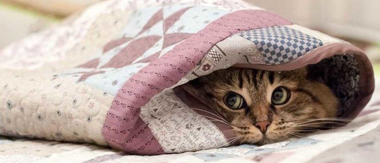 кіт під ковдрою