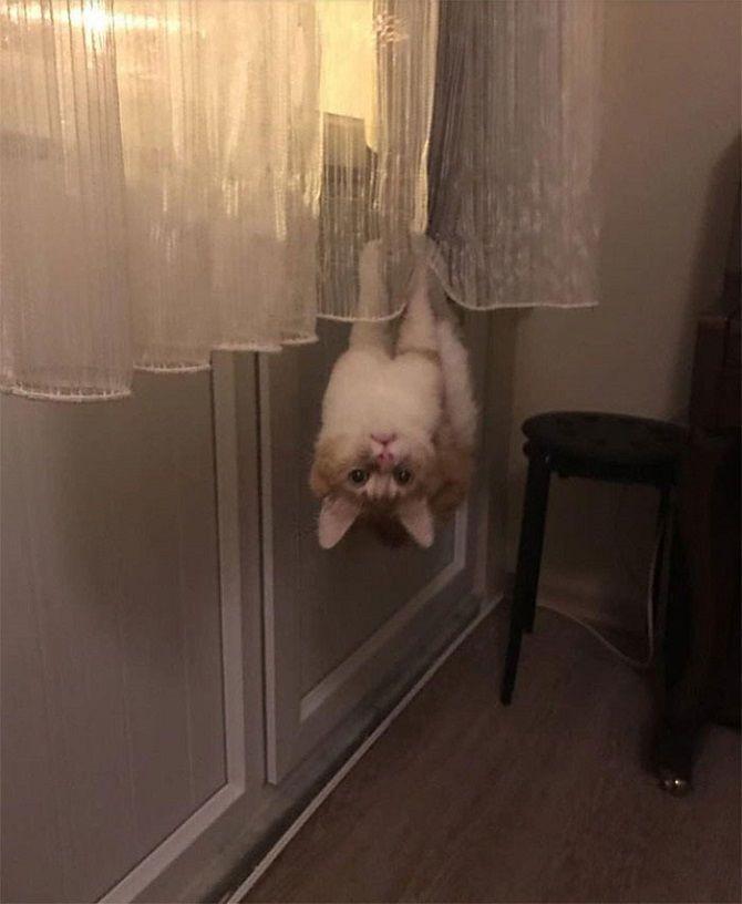 кот висит на шторе