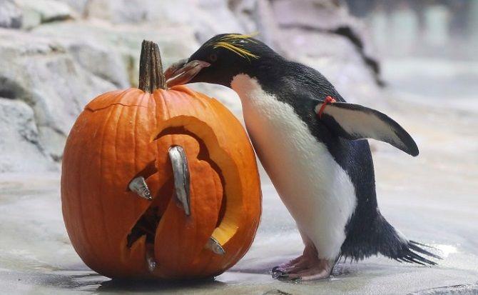 пингвин с тыквой