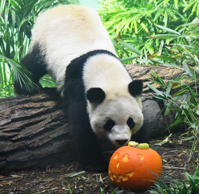 панда с тыквой