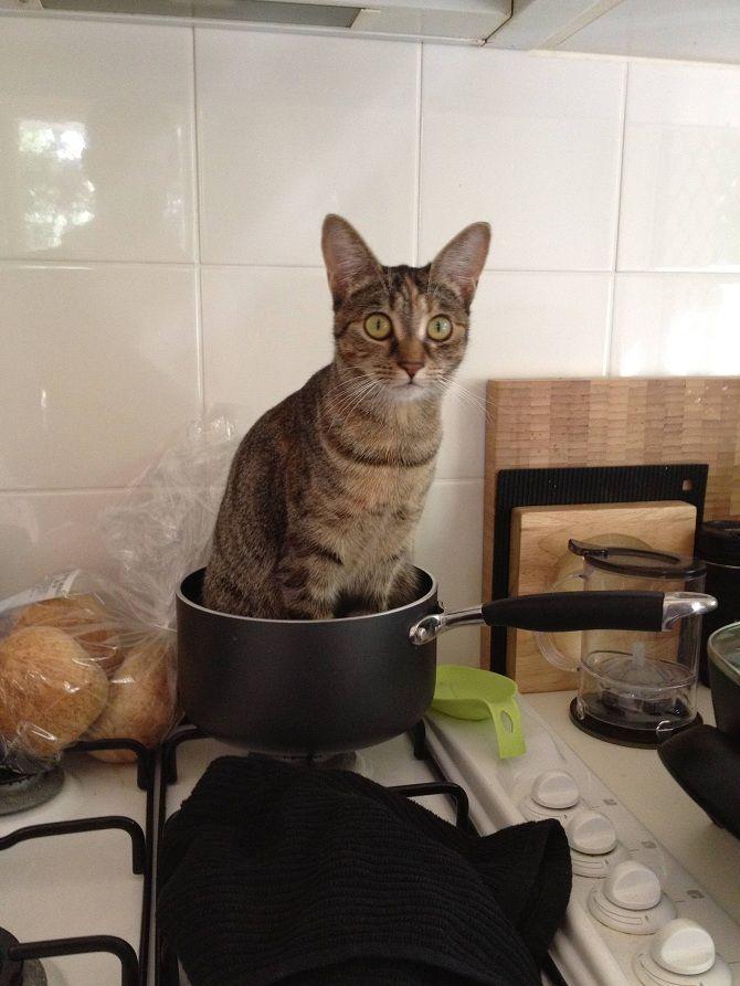 кот в кастрюле