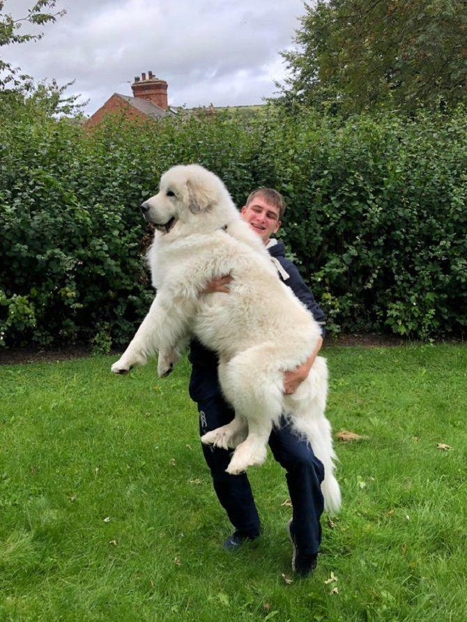 пушистый белый пёс