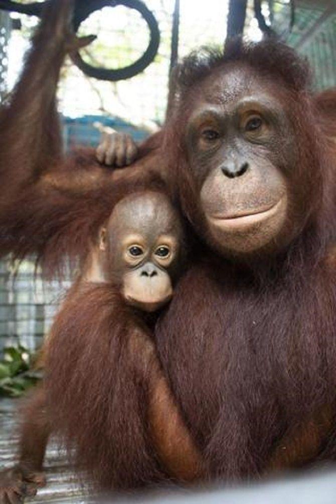 дитя орангутанга